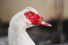 Musky eend of indoda op gang Witte Muscovy-vogel royalty-vrije stock afbeeldingen