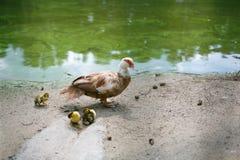 Musky eend met gele kippen op aard stock fotografie