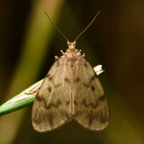 Muslin footman moth (Nudaria mundana) Stock Image