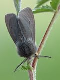 The Muslin Moth. Is a moth of the family Arctiidae. Moth sitting on a twig of rowan stock photos