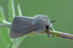 Muslin moth. (Diaphora mendica) on a spray royalty free stock photo