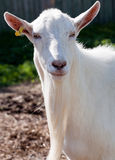Muso bianco della capra Immagini Stock
