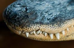 Muso del coccodrillo Fotografia Stock Libera da Diritti