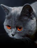 Muso del gatto con gli occhi gialli scuri Fotografia Stock Libera da Diritti