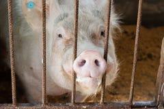 Muso del maiale Immagine Stock Libera da Diritti