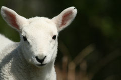 Muso dell'agnello Fotografie Stock Libere da Diritti