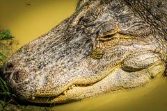 Muso dell'alligatore Immagine Stock