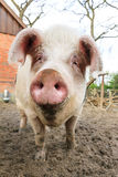 Muso felice del maiale Fotografie Stock