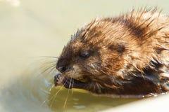 Musquash或麝香鼠游泳在水中吃 库存图片