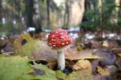 Musroom vermelho Fotografia de Stock