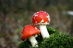 Musroom vermelho Imagens de Stock