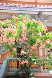 Mussaenda dona luz. The image of the mussaenda dona luz at local Chinese temple Stock Images