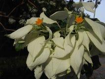 Mussaenda flower or Janda Kaya. This flower known as Janda Kaya flower at Malaysia Stock Photography