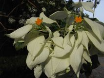 Mussaenda flower or Janda Kaya Stock Photography