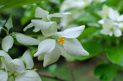 Mussaenda Philippica Virgin Tree in Garden Royalty Free Stock Photo