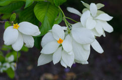 Mussaenda Philippica Virgin Tree in Garden Stock Photography