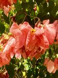 Mussanenda-erythrophylla Dona Luz-Blume Stockfotografie