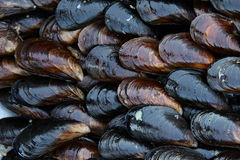 Free Mussel Royalty Free Stock Images - 15184689