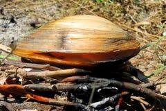 mussel Fotografia Royalty Free
