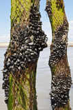 Mussel farm in the france sea Stock Photo