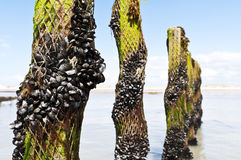 Mussel farm in the france sea Royalty Free Stock Photography