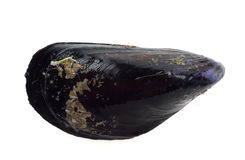 Mussel isolated Stock Photography