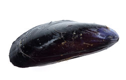 Mussel isolated on white. Black mussel isolated on white background Royalty Free Stock Photography
