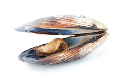 A mussel in its shell Royalty Free Stock Photo