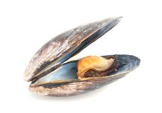 Mussel in its shell isolated on a white background Royalty Free Stock Photo