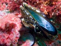 mussel pusta skorupa Fotografia Stock
