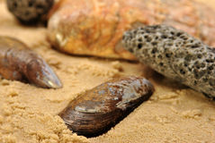 mussel on a sandy beach Stock Image