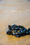 Mussel on a sandy beach. Background. Close-up. Stock Images