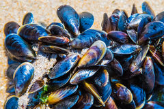 Mussel on a sandy beach. Background. Close-up. Royalty Free Stock Photo