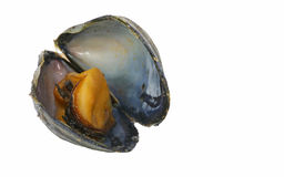 Mussel and Shell Royalty Free Stock Photo