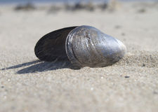 Mussel shell Stock Image