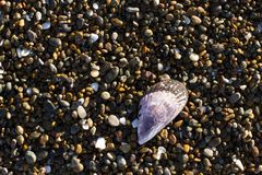 Mussel shell on the coast royalty free stock photo