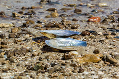 Mussel shell on the sand on the beach Stock Photo