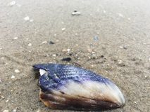 Mussel Shell. Mussel seashell on beach royalty free stock images