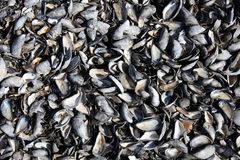 Mussel shells background Stock Photography