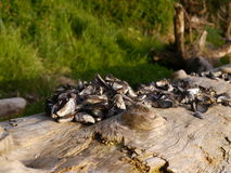 Mussel shells on driftwood Royalty Free Stock Image