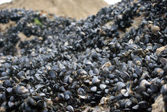 Mussel shells on wet rock Stock Images