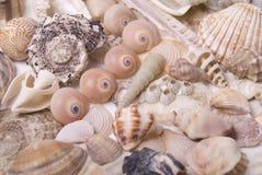 Mussela Stock Image