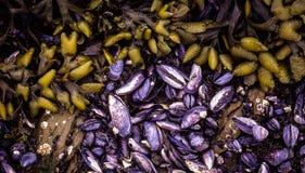 Mussells bleu et algue Image libre de droits