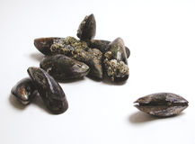 Mussels. Fresh mussels royalty free stock photography