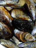 Mussels. Close-up of a dish of fresh mussels Royalty Free Stock Photos