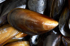 Mussels. Fresh mussels in a pan in close up stock image