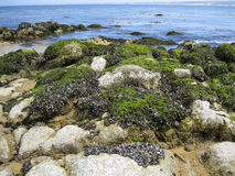 Mussels. A large mussel habitat at the Pacific coast Stock Photos