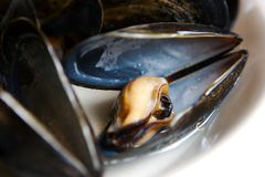 Mussels. Fresh cooked Black mussels opened Stock Images