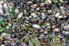 mussels Fotografia Royalty Free