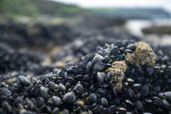Mussels on a barnacle covered rock Royalty Free Stock Photo